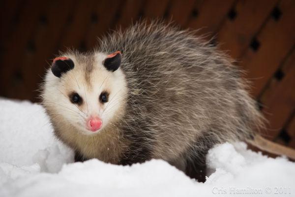 Opossum in winter (photo by Cris Hamilton)