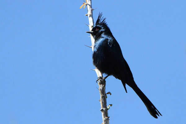 Though this bird looks like a shiny black cardinal he's really in ...