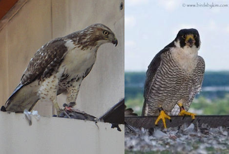Comparing juvenile red-tailed hawk to adult peregrine (red-tailed hawk photo by Katie Cunningham, peregrine photo by Kim Steininger)