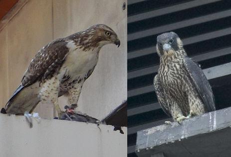 Falcon Or Hawk Outside My Window