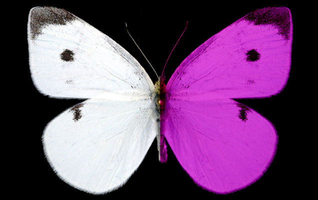 Cabbage white butterfly reflects UV light (photo by Nathan Morehouse in Science Magazine)
