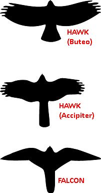 Silhouette of Buteo (hawk), Accipiter(hawk) and Falcon (image from NPS.gov, altered to include labels)