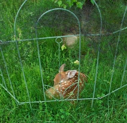 Fawn inside the anti-deer fence (photo by Jennie Barker)