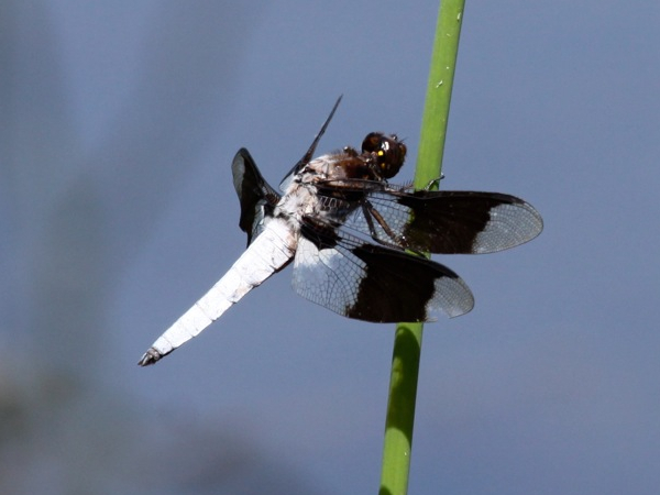 Common Whitetail Skimmer (photo by Chuck Tague)