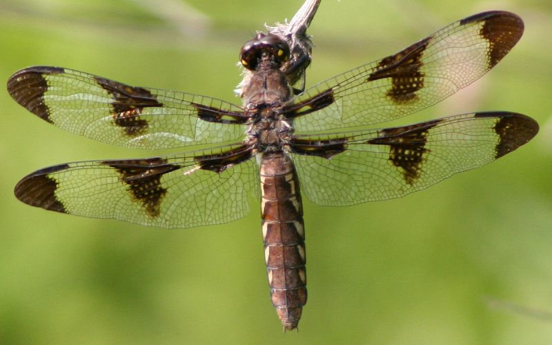 Female common whitetail dragonfly (photo from Wikimedia Commons)