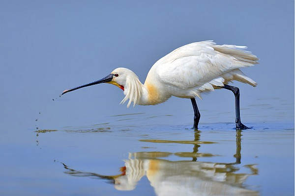 Eurasian spoonbill (photo by Andreas Trepte, www.photo-natur.net, via Wikimedia Commons)