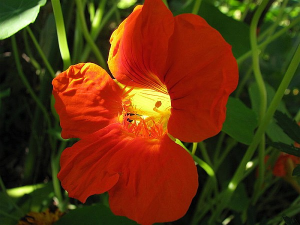 Close-up of a nasturtium (photo from Wikimedia Commons)