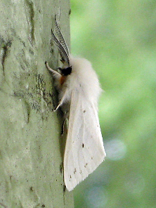 Fall webworm moth (photo from Wikimedia Commons)