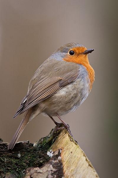 European Robin (photo from Wikimedia Commons)
