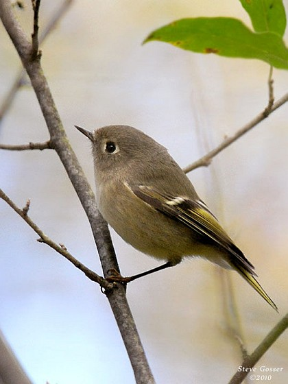 Ruby-crowned kinglet (photo by Steve Gosser)