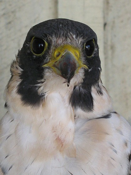 Arctic peregrine, Island Girl (photo from the Southern Cross Peregrine Project)