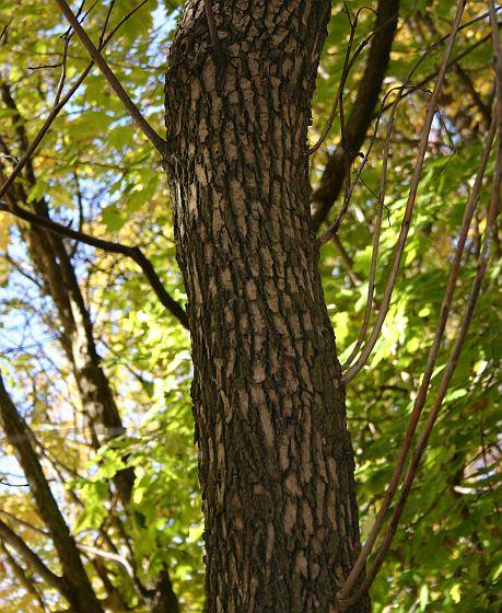 Ash Wood Bark ~ Outside my window winter trees white ash