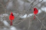 Two male Northern Cardinals in winter (photo by Steve Gosser)