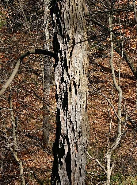 Winter Trees Sugar Maple Outside My Window