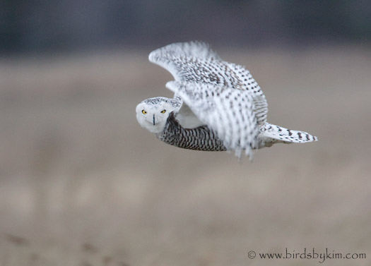 Snowy Owl in flight (photo by Kim Steininger)