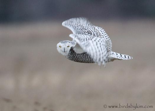 Snowy owl in flight at night - photo#8