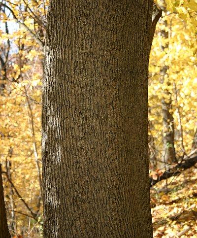 Winter Trees Norway Maple Outside My Window - Norway maple bark