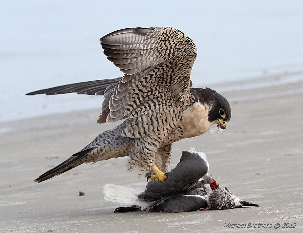 Peregrine Falcon eating Laughing Gull, Daytona Beach Shores (photo by Michael Brothers)