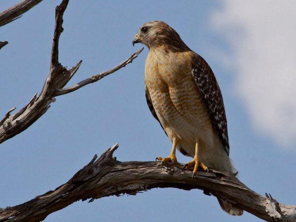 The Noisiest Hawk In North America Outside My Window