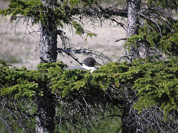 Bonaparte's gull on nest, Churchill (photo by Dr. Matthew Perry, Pawtuxent Wildlife Research Center, USGS)