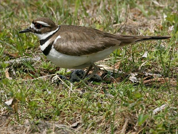 Killdeer (photo by Chuck Tague)