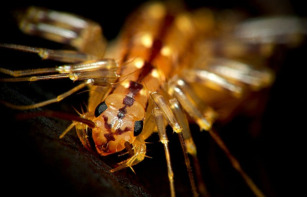 Closeup of a house centipede (photo from Wikimedia Commons)
