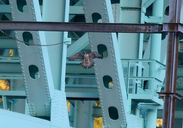 Peregrine about to land on the Tarentum Bridge (photo by Sean Dicer)