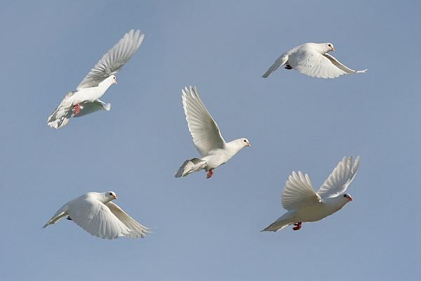 Wedding Doves Outside My Window