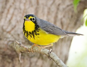 Canada Warbler (photo by Cris Hamilton)
