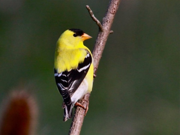 American goldfinch, male (photo by Chuck Tague)