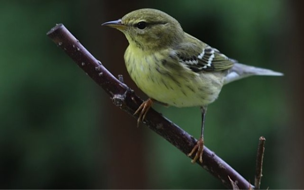 Blackpoll warbler, Sept 2012 (photo by Marcy Cunkelman)