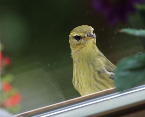 Blackpoll warbler at the window, Sept 2012 (photo by Marcy Cunkelman)