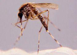 Saltmarsh mosquito (image from COJ)