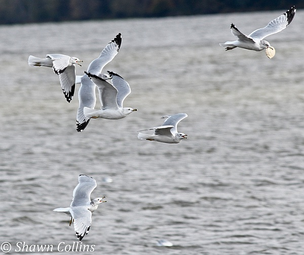 Ring-billed gulls chase for food (photo by Shawn Collins)