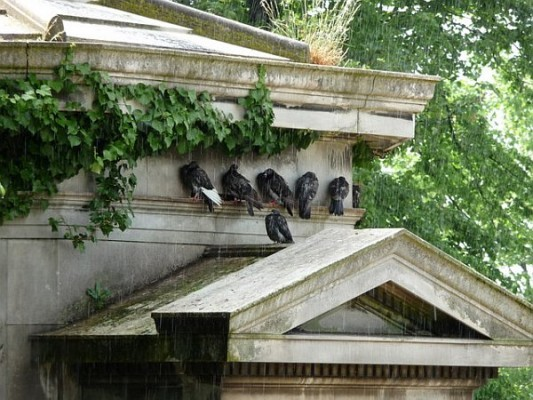 Pigeons sheltering from rain in West Norwood Cemetery, UK (photo from Wikimedia Commons)
