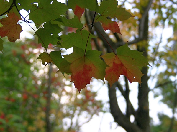 Maple leaves turning red, Schenley Park, 5 Oct 2012 (photo by Kate St. John)