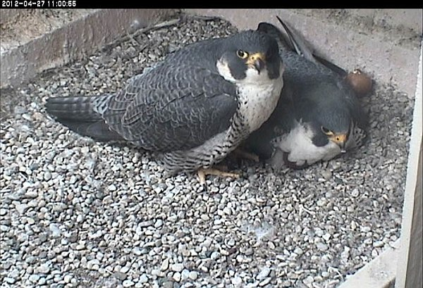 Dorothy and E2 at the nest. 27 April 2012 (photo from the National Aviary falconcam at Univ of Pittsburgh)