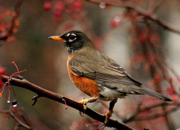 AAmerican Robin (photo by Chuck Tague)