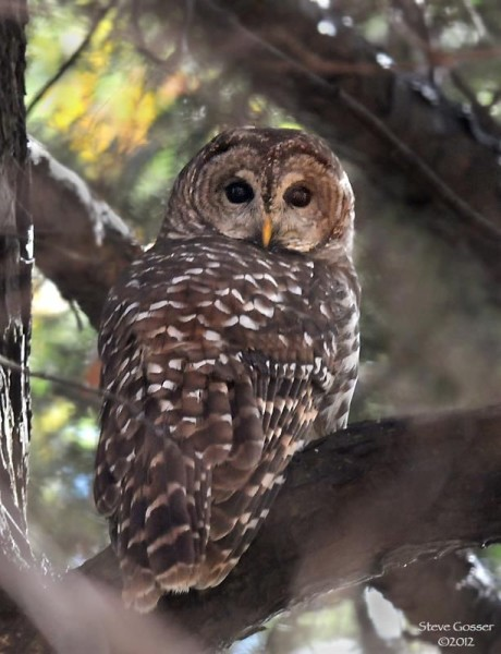 Barred owl at Crooked Creek (photo by Steve Gosser)