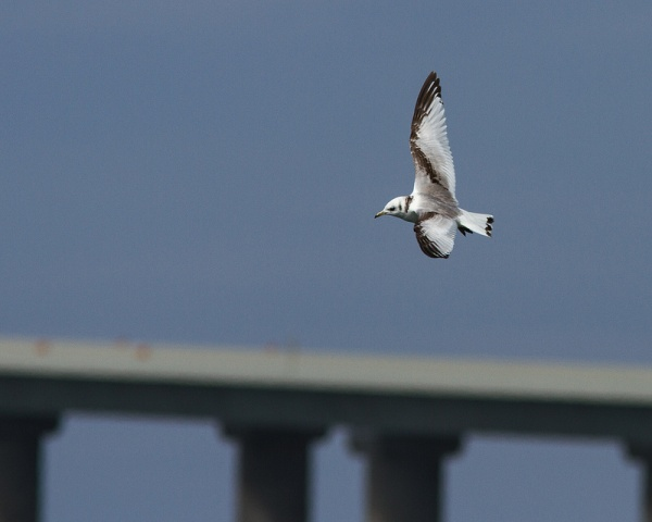 Black-legged Kittiwake at Tampa Bay (photo by Dan Irizarry)