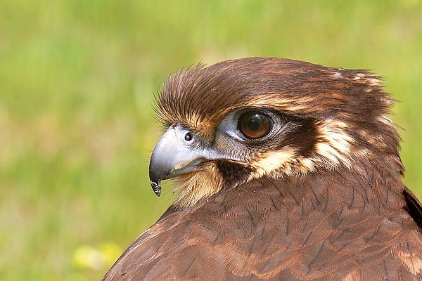 Brown Falcon, Australia (photo from Wikimedia Commons)