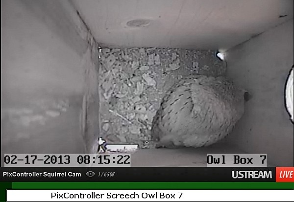 Eastern screech-owl roosting in Owl Box #7 (image from PixController.com)