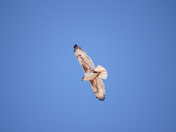 Ferruginous Hawk in flight (photo by Steve Valasek)