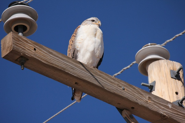 Ferruginous hawk (photo by Steve Valasek)