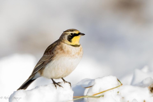 Horned Lark (photo by Bobby Greene)