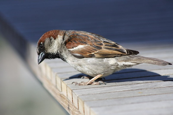 Male house sparrow (photo by David Lofink via Wikimedia Commons)