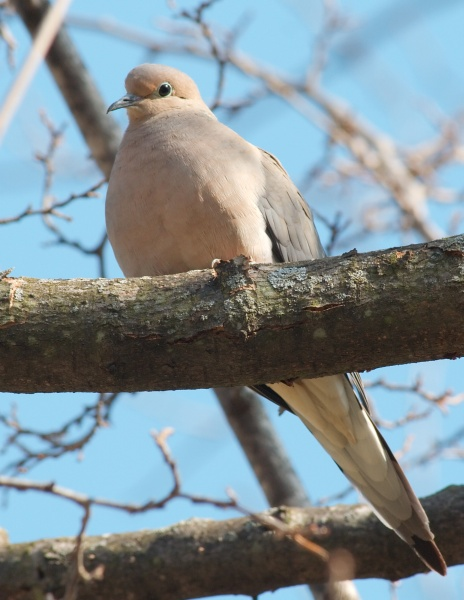 Mourning Dove in Urbana, IL (photo by Dori on Wikimedia Commons)