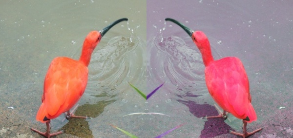 What color is a scarlet ibis? (original photo by tj on Wikimedia Commons)