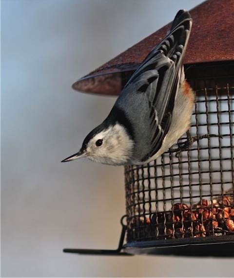 White-breasted nuthatch (photo by Marcy Cunkelman)