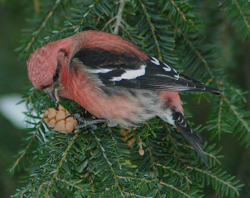 White-winged Crossbill, male (photo by Heather Jacoby)